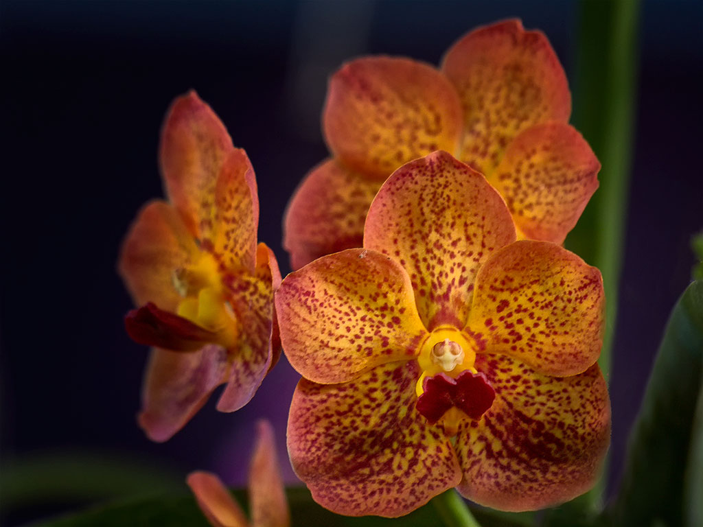 orchid15