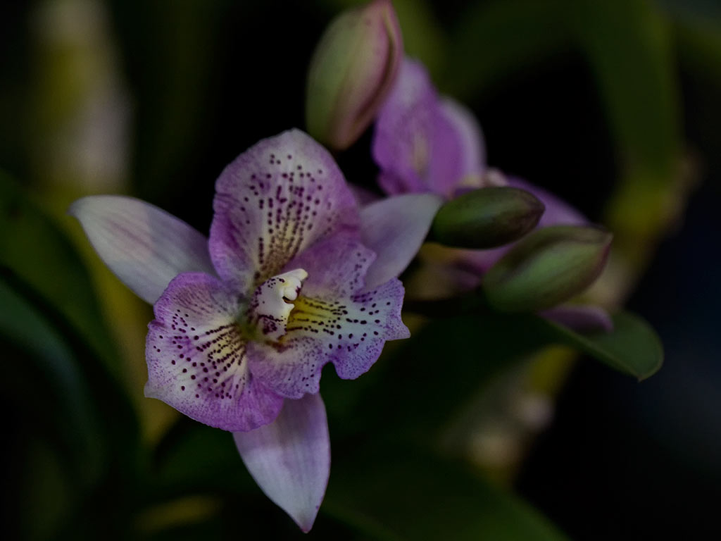 orchid23