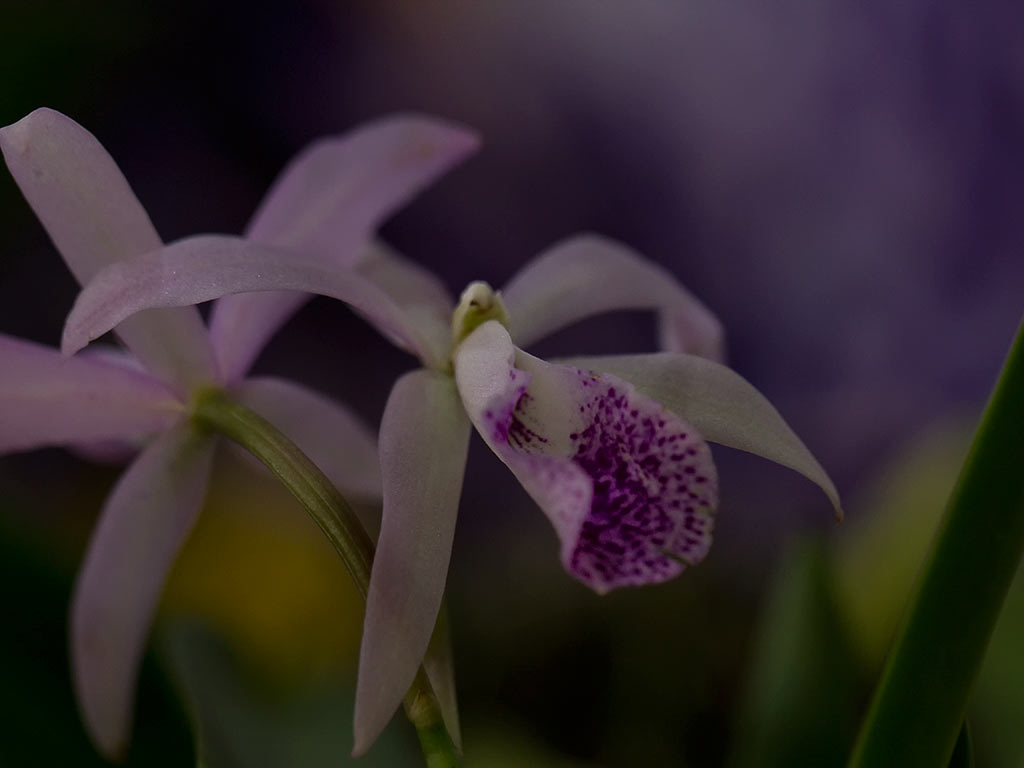orchid27
