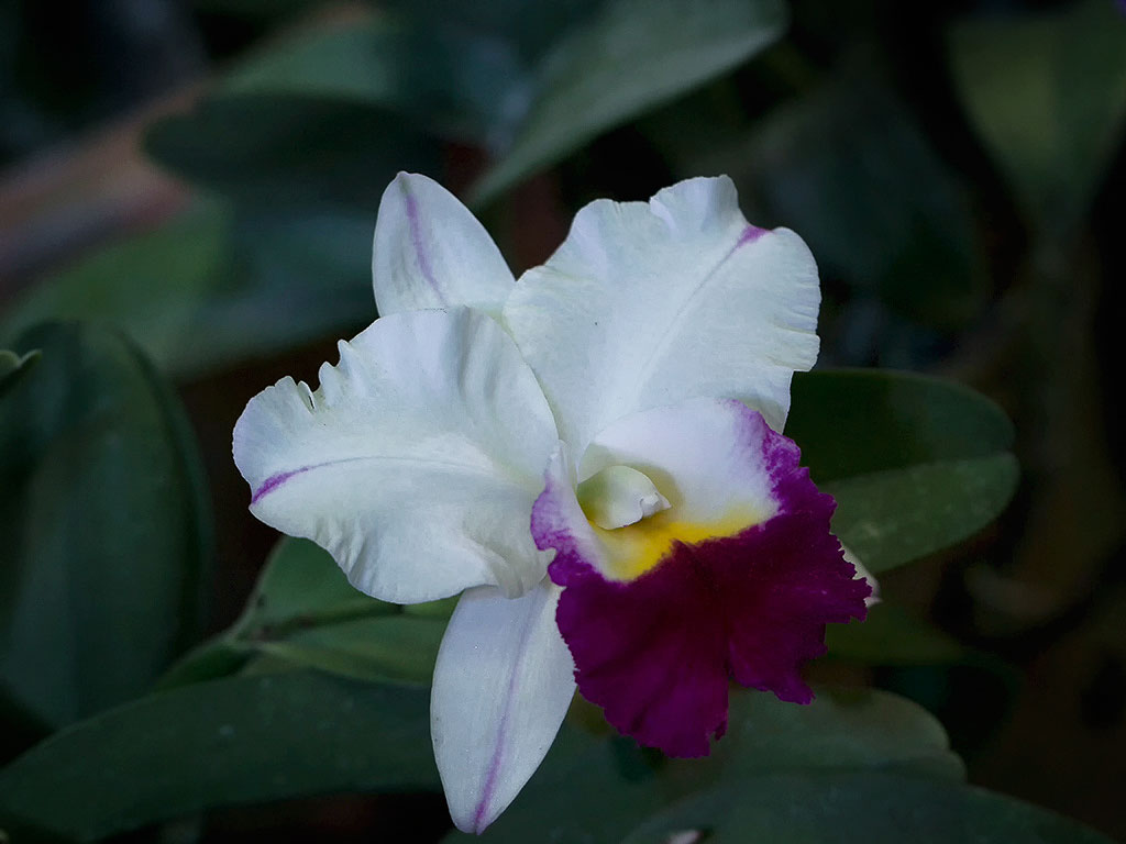 orchid34