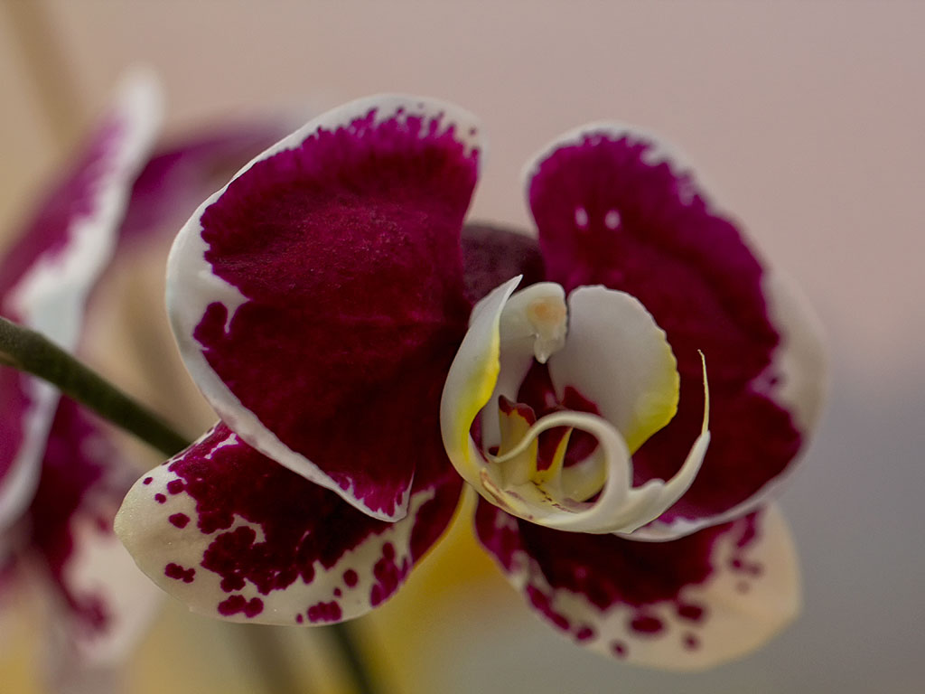 orchid36
