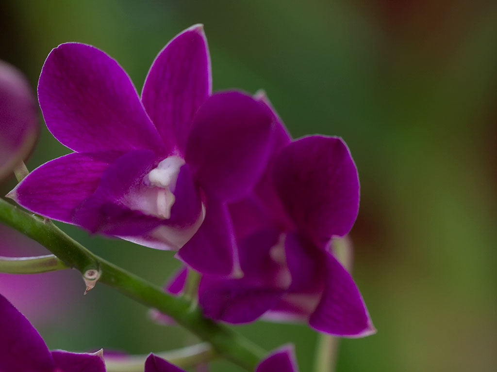 orchid38